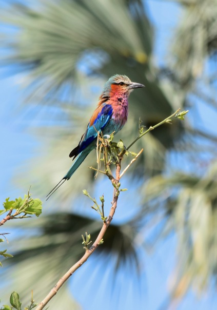 Lilac breasted roller on Hunda Island, Botswana © Kelsea Lee